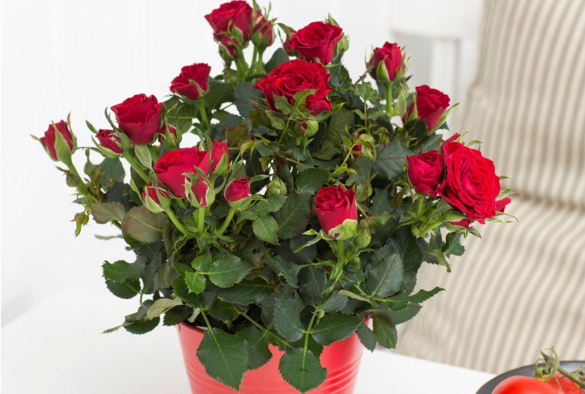Как восстановить розу в горшке