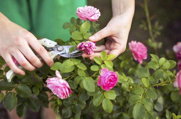 Обрезка отцветших бутонов комнатной розы