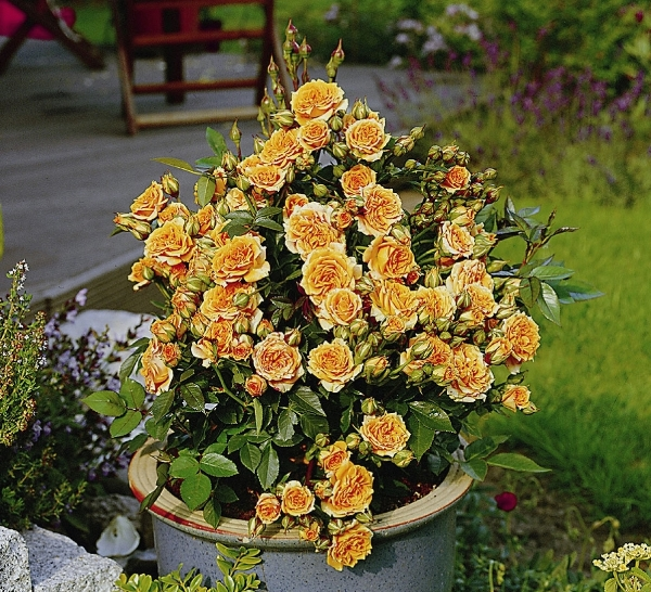 Роза Clementina