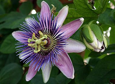 Пассифлора голубая кассиопея