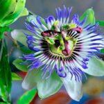 Пассифлора виды и сорта с фото