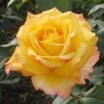 Роза Peer Gynt (Пер Гюнт)