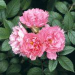 Роза Pink Grootendorst