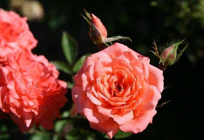 Роза «Анжела Риппон» («Angela Rippon»)