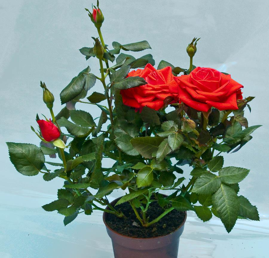 Роза Кордена