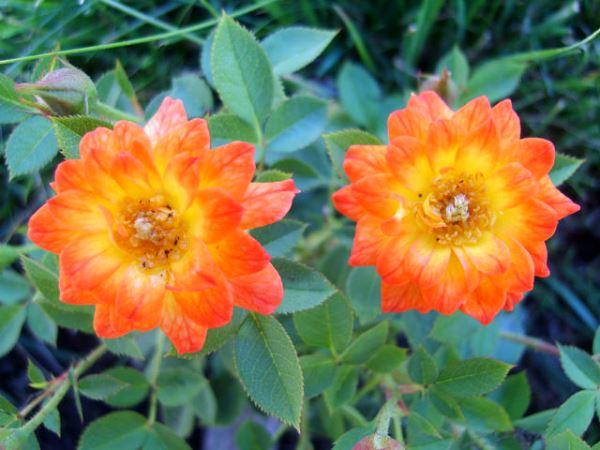 Роза «Колибри». (Colibri).