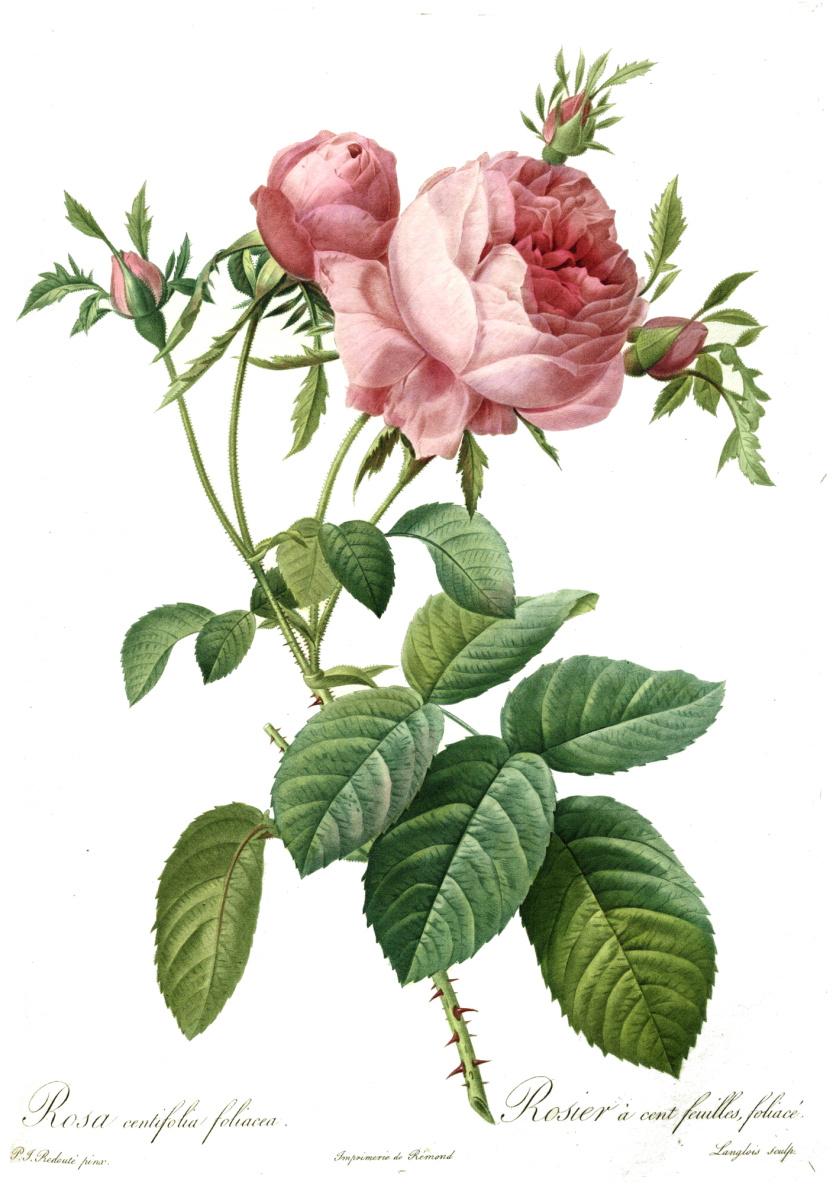 Пьер-Жозеф Редуте картина Розы