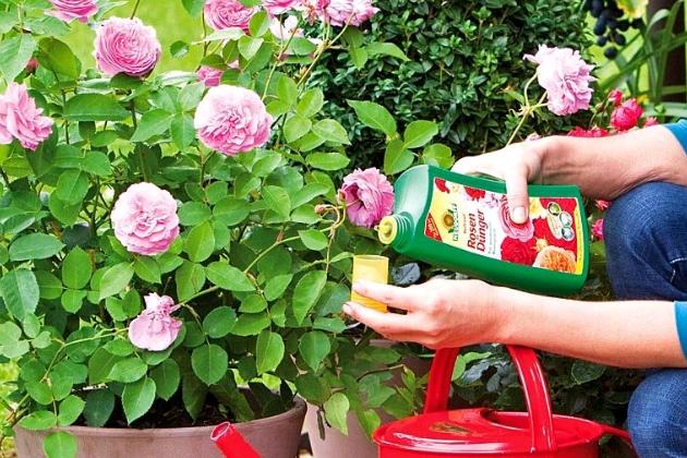 Подконмка комнатной розы