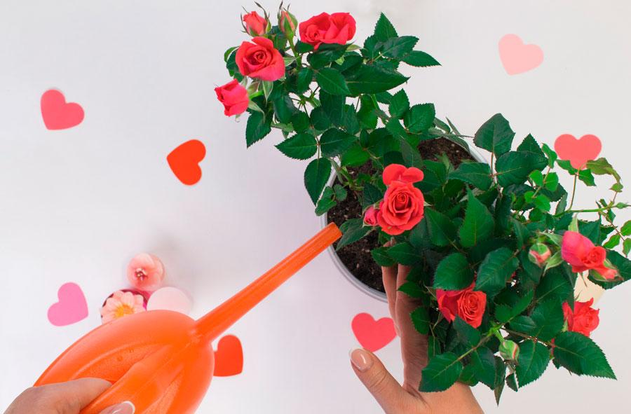 Полив комнатной розы