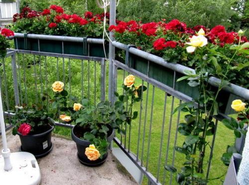 Розы на балконе