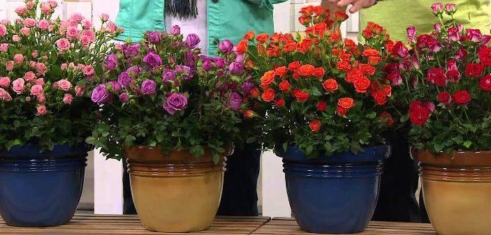 Как выбрать комнатную розу в магазине