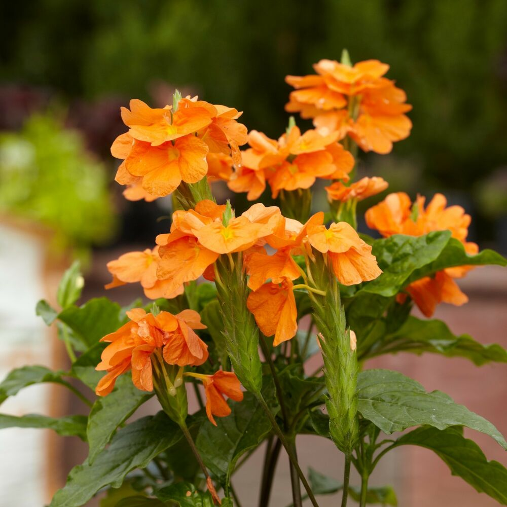 Кроссандра Orange Marmelade