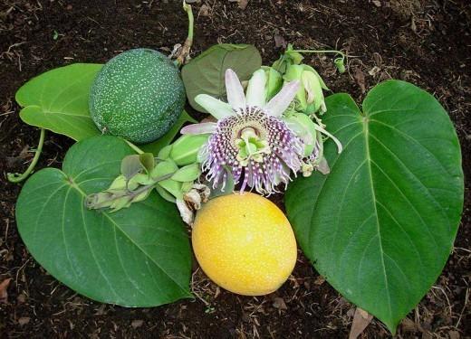 фрукты пассифлоры