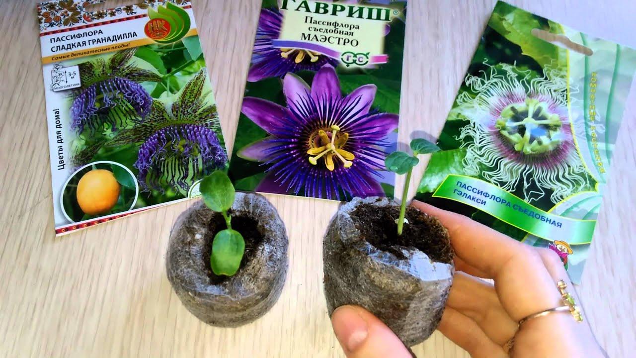 Размножение Пассифлоры семенами