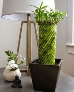 Комнатный бамбук 5