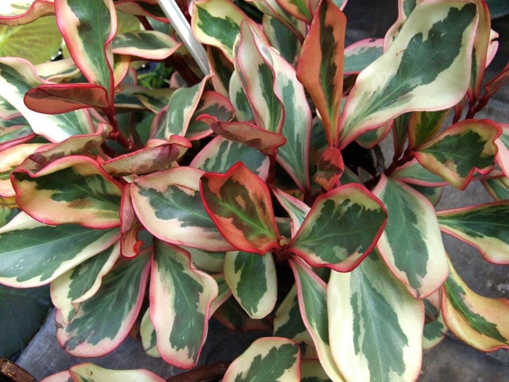 Пеперомия «Клузиелистная вариегата» (Peperomia clusiifolia var.)