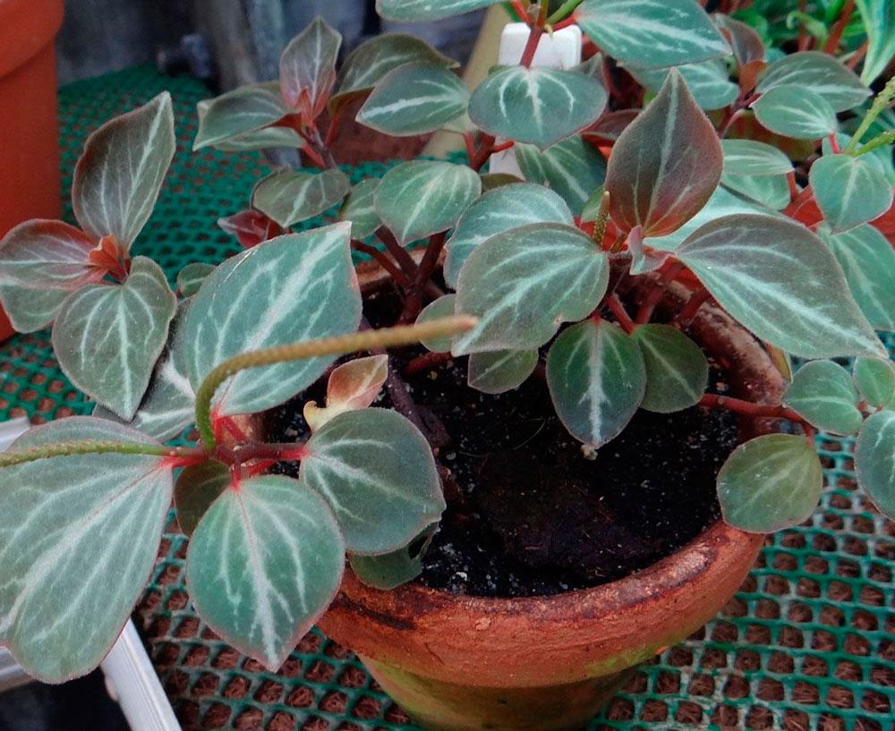 Пеперомия «Бархатистая» (Peperomia velutina)