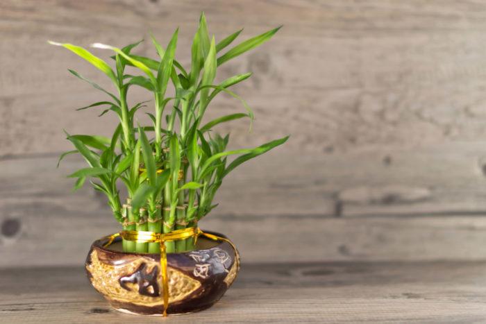 Бамбук уход в домашних условиях, фото