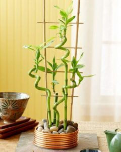 Комнатный бамбук 1