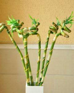 Комнатный бамбук 3