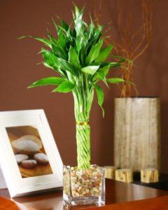 Комнатный бамбук 6