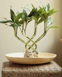 Комнатный бамбук 8