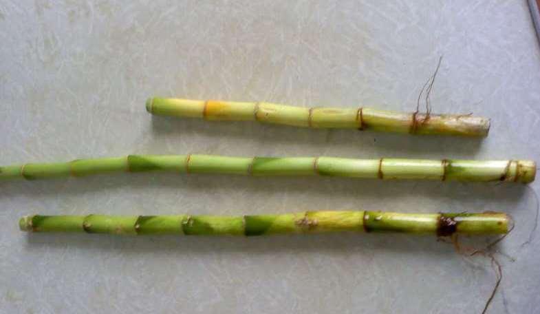Размножение комнатного бамбука черенками