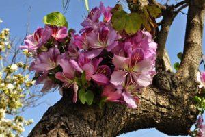 Баухиния (орхидейное дерево) 1