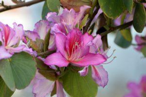 Баухиния (орхидейное дерево) 2