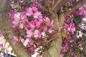 Баухиния (орхидейное дерево) 3