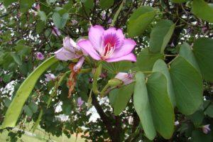 Баухиния (орхидейное дерево) 4
