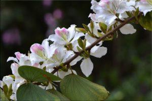 Баухиния (орхидейное дерево) 5