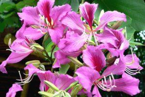 Баухиния (орхидейное дерево) 6