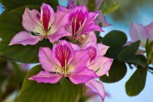 Баухиния (орхидейное дерево) 8