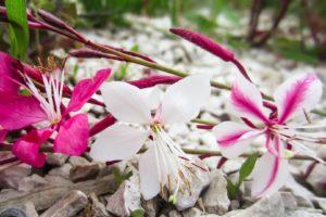 Баухиния (орхидейное дерево) 9