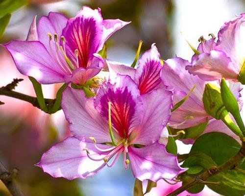 Цветы орхидейного дерева