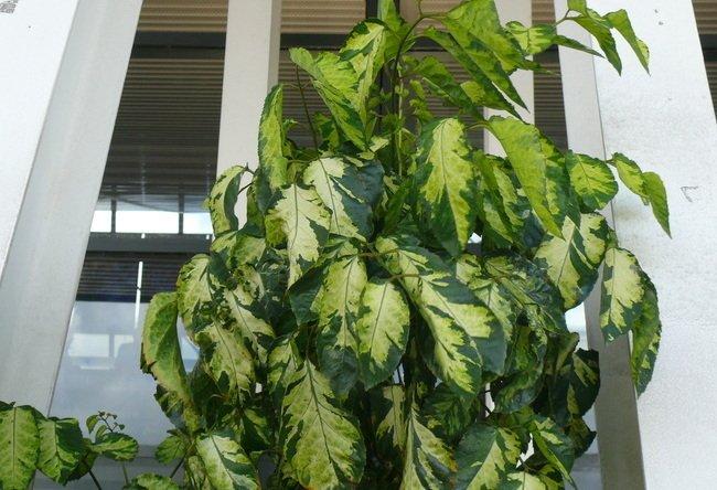 Полисциас Метельчатый Вариегата paniculata