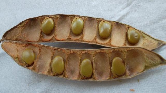 Плоды баухинии - бобы с семенами
