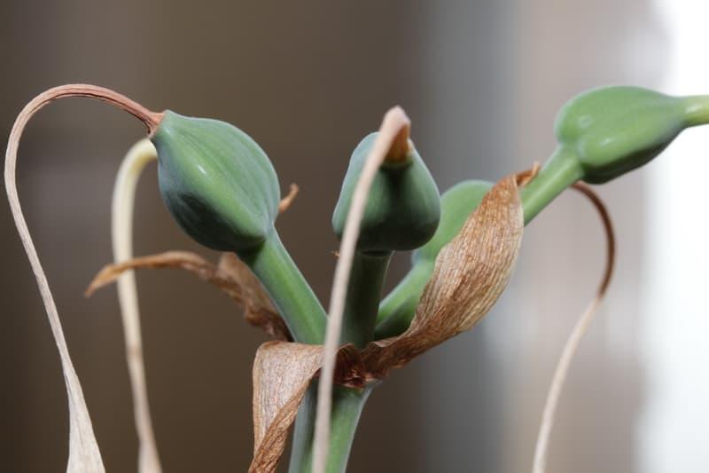 Созревание семян Эухариса