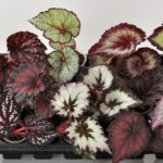 Виды и сорта лиственных бегоний