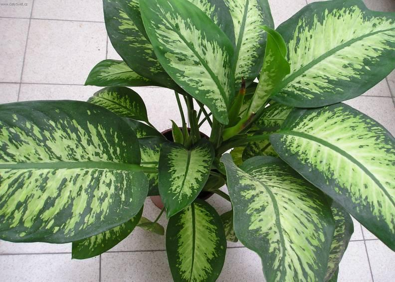Диффенбахия «Прелестная» или «Приятная» (Dieffenbachia Amoena)
