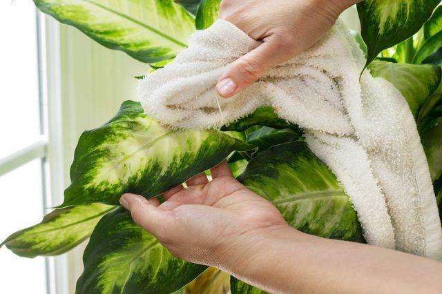 Протираем диффенбахию от пыли