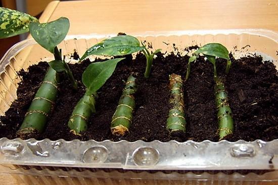Размножение диффенбахии черенком