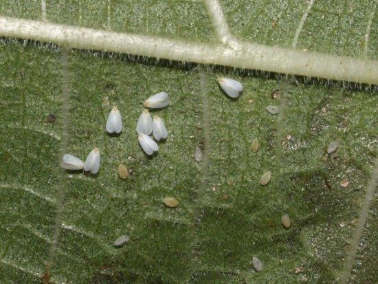 Белокрылка на листьях Герберы