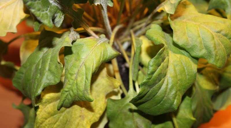 У Герберы желтеют листья