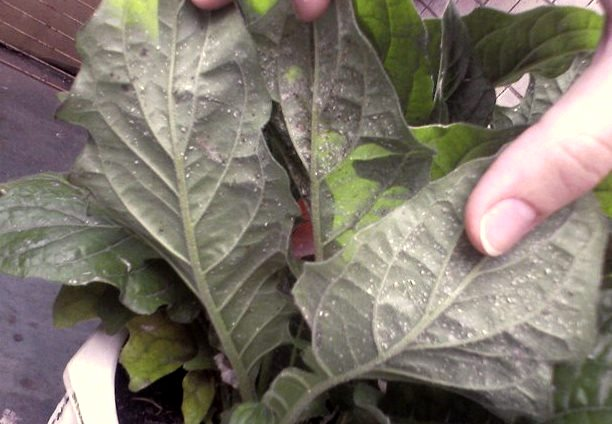 Тля на листьях герберы