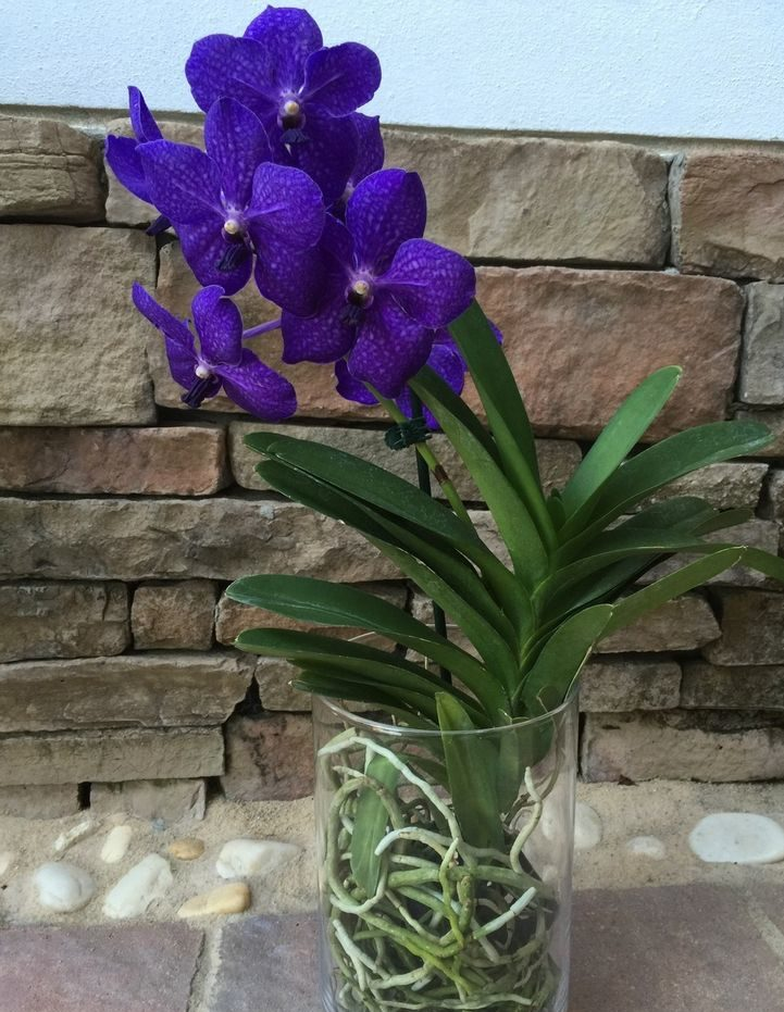 Орхидея Ванда внешний вид