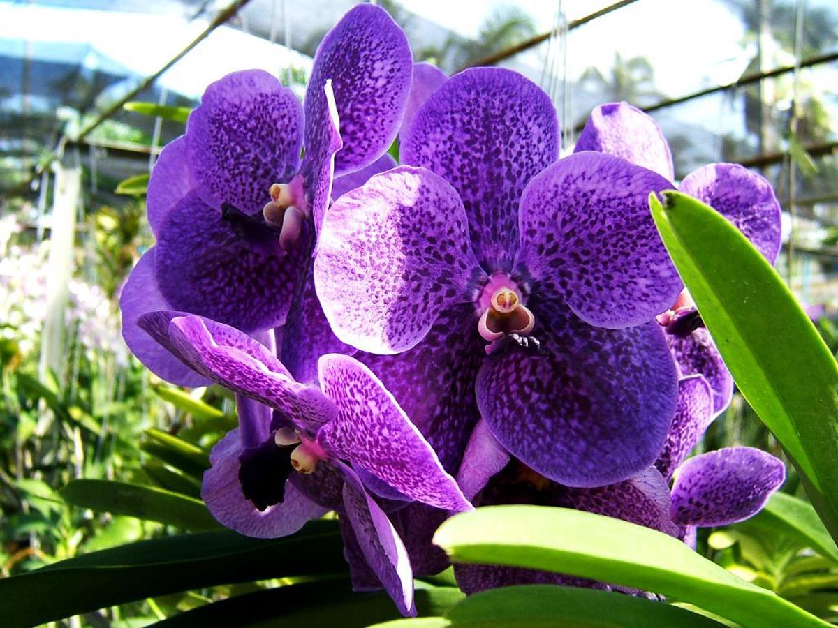 Цветени Ванды
