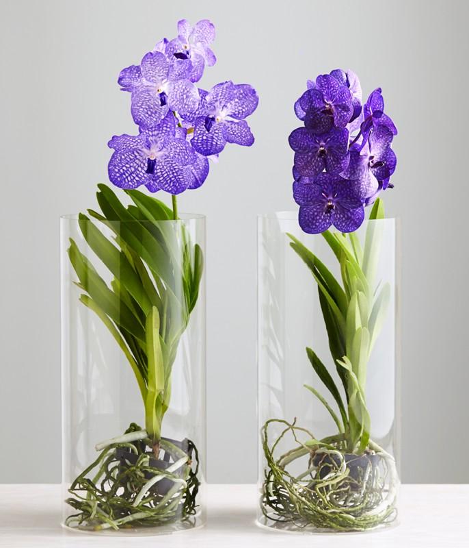 Орхидея Ванда в вазах