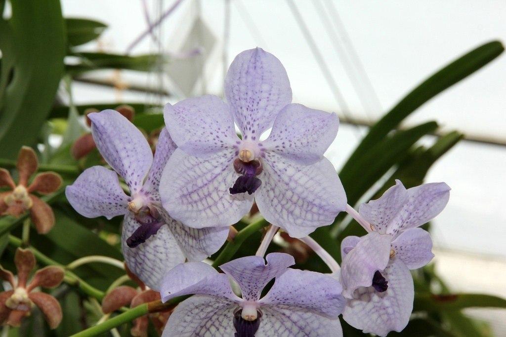 Ванда Ротшильда (Vanda Rothschildiana)